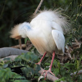 Cattle Egret - Breeding plumage - Cobalt blue skin of head and neck