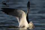 Laughing Gull - jump-plunge & surface-plunge