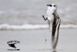 Sanderling stung by Portuguese man o' war (Physalia physalis)