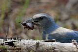 Florida Scrub Jay – Food: Beetles