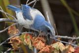 Florida Scrub Jay – Foraging: probing dead leaves
