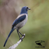 Florida Scrub Jay – Florida April 2012