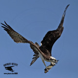 Osprey - Mid-air maneuvers: using tail