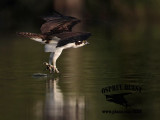 Osprey – Comfort Movements – Dragging Talons and Feet in water