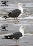 Lesser Black-backed Gull - quiz