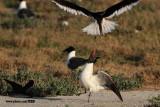 Black Skimmer defecating on Laughing Gull inside skimmer nesting colony - Texas 2012