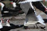 Laughing Gull preying on Black Skimmer eggs - Texas 2012