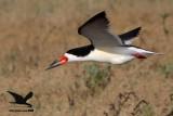 Black Simmer – gravid female on wing - Texas 2012