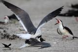 _MG_3675Laughing Gulls territorial fight inside Black Skimmer colony.jpg