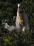 Great Egret in stained plumage