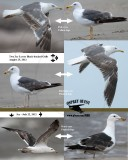 3cy (TY) Lesser Black-backed Gulls - comparison of eye and leg color