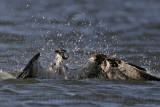 Osprey - In water shake