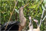 Anhinga - mom and chicken