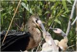 anhinga - mom feeding chicken 3.JPG