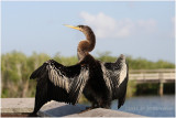anhinga on the boardwalk.JPG