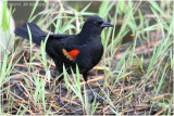 carouge à epaulettes - red winged blackbird.JPG