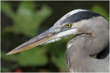 grand héron - great blue heron 2.JPG