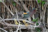héron vert - green heron  mom and  chick.JPG