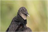 urubu noir - black vulture.JPG