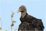 urubu noir - black vulture 2.JPG