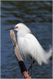 aigrette neigeuse - snowy egret.JPG