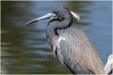 aigrette tricolore - tricolored heron.JPG
