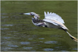 aigrette tricolore - tricolored heron 2.JPG