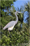 aigrette tricolore - tricolored heron 3.JPG