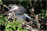 aigrette tricolore - tricolored heron nesting.JPG