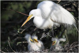 grande aigrette - great egret 5.JPG