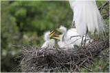 grande aigrette - great egret 6.JPG