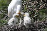 grande aigrette - great egret 7.JPG
