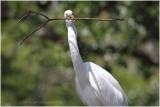grande aigrette - great egret 8.JPG