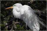 grande aigrette - great egret 9.JPG