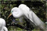 grande aigrette - great egret 10.JPG