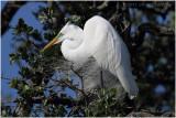 grande aigrette - great egret 11.JPG