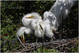 grande aigrette - great egret 13.JPG
