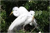 grande aigrette - great egret 14.JPG
