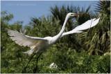 grande aigrette - great egret 15.JPG