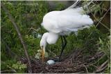 grande aigrette - great egret 16.JPG