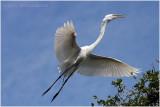 grande aigrette - great egret 18.JPG