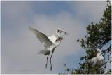 grande aigrette - great egret 20.JPG