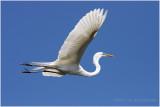 grande aigrette - great egret 21.JPG