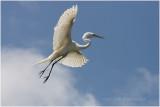 grande aigrette - great egret 22.JPG