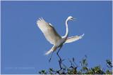 grande aigrette - great egret 23.JPG