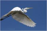 grande aigrette - great egret 24.JPG