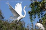 grande aigrette - great egret 25.JPG