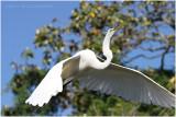 grande aigrette - great egret 26.JPG