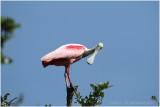 spatule rosée - roseate spoonbill.JPG