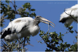 tantale - wood stork 10.JPG
